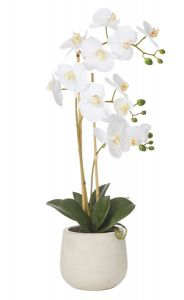 Butterfly Orchid in a White Sandstone Pot